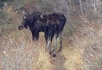 Momma moose and her teen were quite patient as I, from a safe distance, tried to motivate them to clear the trail