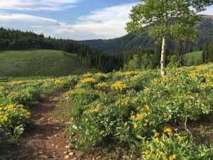 Photo of Rick's Basin trail and Arrowleaf Balsamroot at Grand Targhee